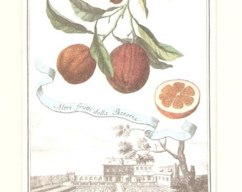 Antique Oranges? hand coloured engraving c.1830s