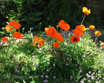 Poppies Along the Roadside