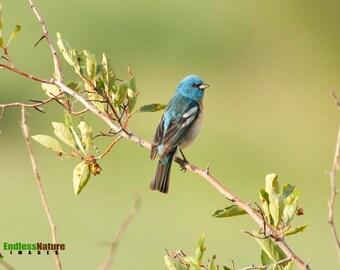 Lazuli Bunting, Songbird Photography, Bird Photographs, Bunting Images, Wildlife Images, Nature Photography, Bird Pictures, Bunting Images.