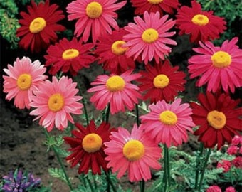 Chrysanthemum Seeds Coccineum Robinson Mix 500 Seeds