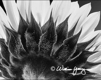 Back of the Sunflower (5819)