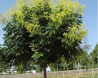 New Arrival 30 Home Garden Golden Rain Tree Goldenrain Koelreuteria Paniculata Seeds