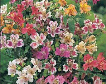 New Home Garden Plant 5 Seeds Alstroemeria ligtu Dr SALTERS HYBRIDS MIX Peruvian Lily flower Seeds