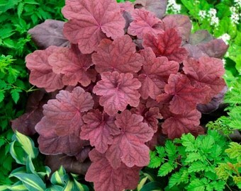 heuchera Lava Lamp (Coral Bells)