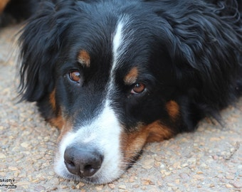 Wistful - Bernese Dog Art - Dog Photography - Dog Decor - Dog Gifts - Dog Photos - Dog Lover