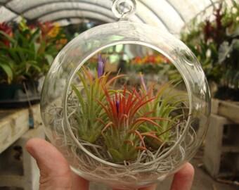 Ionantha 3 Pack in Glass Globe