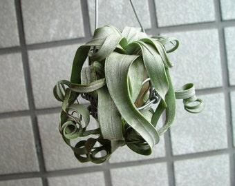 Tillandsia Air Plant FAVORITE | Streptophylla