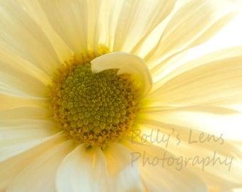 Daisy, Flower Photography, Fine Art Photo, White, Natural Light Photo, Nature Photography