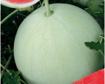 Watermelon seeds White  Ukraine heirloom Organic  Fruit seeds Bingo #12225