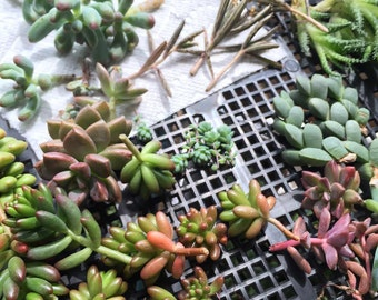 PICK UP ONLY!!!!!!!!!!! Assortment different succulent cuttings