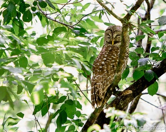 Nature Photography - Perched Owl