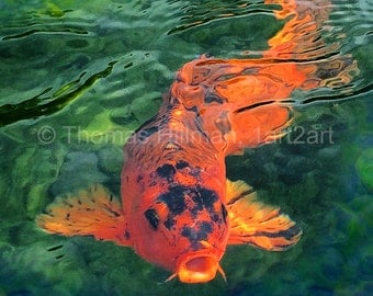 Koi Fish - King of the Pond - High Quality Gilcee Canvas Print - Bright, Colorful, Vibrant Wall Art