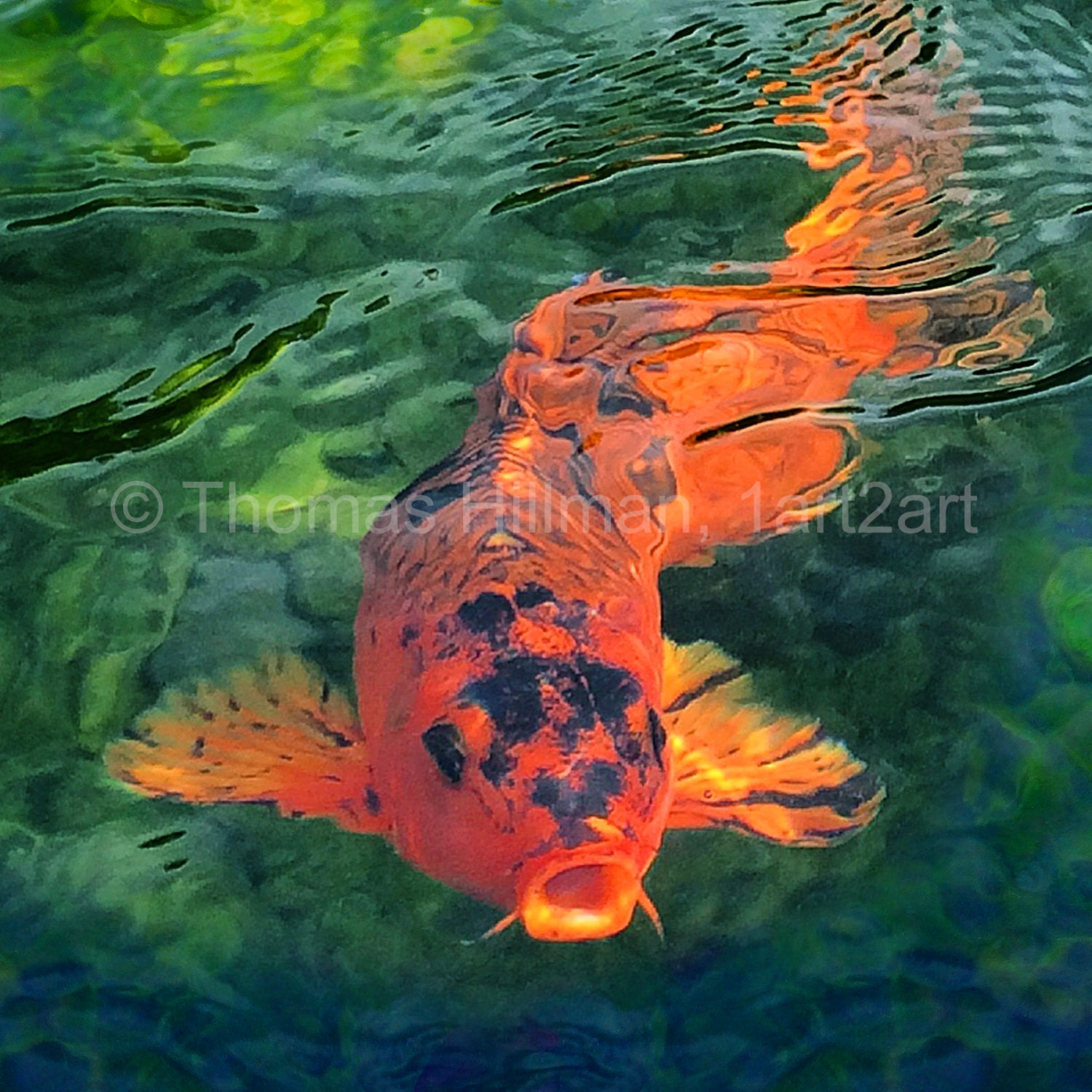 Koi fish king of the pond high quality gilcee canvas print for Koi pond water quality