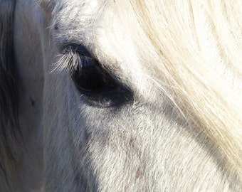 Horse Photography - Arabian Horse, Fine Art Photography, Beautiful White Horse