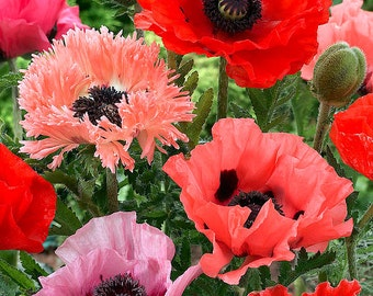 200+ Oriental Poppy Seeds Mixed Colors Papaver Orientale Mix Beautiful Flowers!
