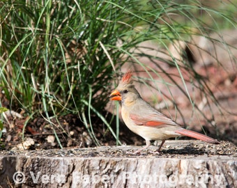 Northern Cardinal female, Bird Photo, Northern Cardinal Photo, Nature Photo, Photograph Print, Cardinal Photo