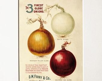 Onions vintage illustration