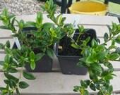 Goldfish Plant - Nematanthus wettsteinii (approx. 1 year old new plants)