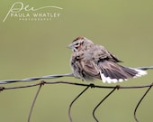 sparrow photo, small bird print, bird print, bird photo, brown bird print, perching bird photo, bird photo, green brown bird print