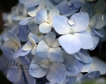 Blue Hydrangea Flower Photo, light blue art, flower decor, blue and cream decor, blue art photo, macro flower photo, blue flower art