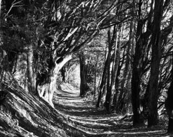 Dark & Twisty - Into the Woods (black and white nature photography print, creepy spooky snarly redwood tree trunk branches perspective)