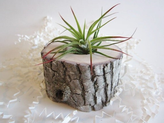 Air plant planter flower vase cubicle decor by darriellesclayart - Cubicle planters ...