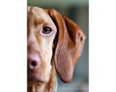 Eye of the Tiger, 8x12 Print, Vizsla, Dog, Dog Photography, Vizsla Print, Pet Portrait, Love