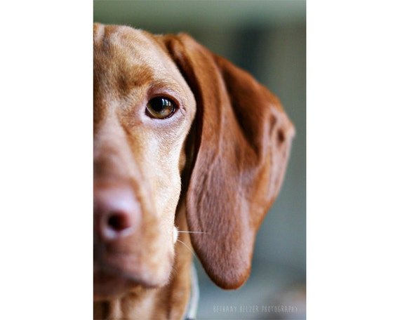 Eye of the Tiger, 8x12 Print, Vizsla, Dog, Dog Photography, Vizsla Print, Pet Portrait, Love