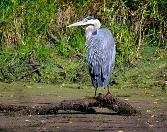 Great Blue Heron in the Sun Fine Art Photograph - Heron Photos - Great Blue Herons - Photos of Blue Herons - Heron Pictures
