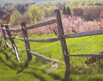 Orchard photograph - Along the orchard fence,  New England fruit trees, pink with blossoms along a fence, fine art print home decor