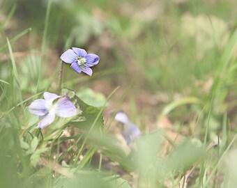 purple violets-delicate wildflowers-flower photography - purple - cottage garden  (5 x 7 Original fine art photography prints) FREE Shipping