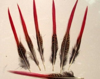 """5 Red Tail 8-10"""" Golden Pheasant Feathers shards quills"""
