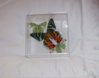 """Real  """"Sunset Moth"""" with Mint Green Butterflies"""
