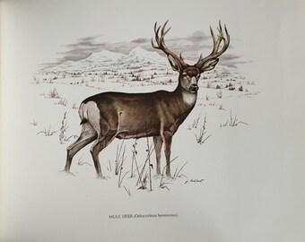 Mule Deer 15x12 Wildlife Print J Lockhart An Original Book Page Illustration from Vintage 1967 Book