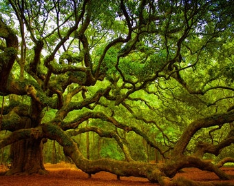 Oak Tree, Photos of Trees, Charleston SC Photos, Oak Tree Print, Landscape Photos, Tree Prints,  Top Selling Items,  Angel Oak Tree