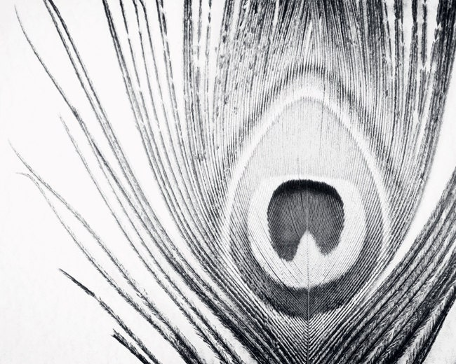 Black and White Peacock Photography feather grey photo gray