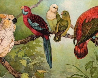 1902 Antique Parrot print Love Birds Parakeet Cockatoo Lory Tropical Colorful Birds Red Green Encyclopedia book plate Framable art Aviary