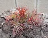 COLOR ASSORTMENT-Tillandsia Ionantha Assorted 5 Pack