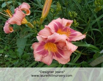 "Daylily ""Designer Jeans"" live plant, Hemerocallis"