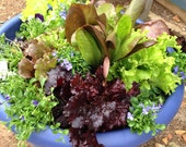 Lettuce Mix Organic Lettuce Seeds Container Garden Seeds Salad Bowl Seed Mix Small Space Garden Plants Non GMO Seeds