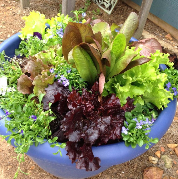 Lettuce Container Garden: Lettuce Seed Mix, Heirloom Lettuce,Salad Bowl Mix, Great