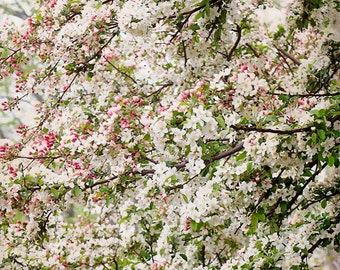 Apple Tree Blossoms, Spring Flower Photography, Bloom, White and Pink Flowers, Floral, Spring Decor, Pretty Flowers, art