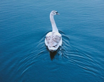 Blue Swan - Photography