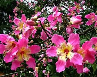 Silk Floss Tree, Chorisia, 10 seeds, Ceiba, Kapok Tree, huge pink blooms, fast growing, drought tolerant, zones 8 to 11, nifty bonsai