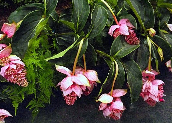 medinilla myriantha malaysischen orchidee 25 samen kaskadierende rosa bl ten lila beeren. Black Bedroom Furniture Sets. Home Design Ideas