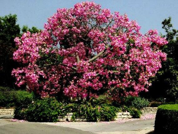 Silk floss tree chorisia 10 seeds ceiba kapok tree for Fast growing drought tolerant trees