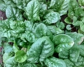 Bloomsdale Long Standing Heirloom Spinach Seeds Non GMO Clearance Sale