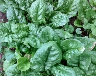 Bloomsdale Long Standing Heirloom Spinach Seeds Non GMO