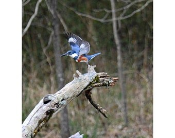 Belted Kingfisher taking flight off of her perch near Pageland, South Carolina.