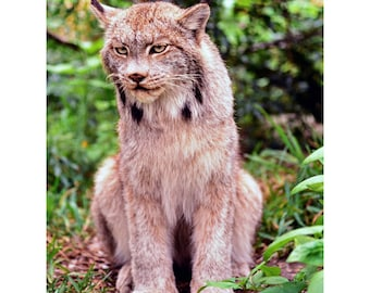 """Canada Lynx protrait also known as the """"Shadow of the Forest""""."""